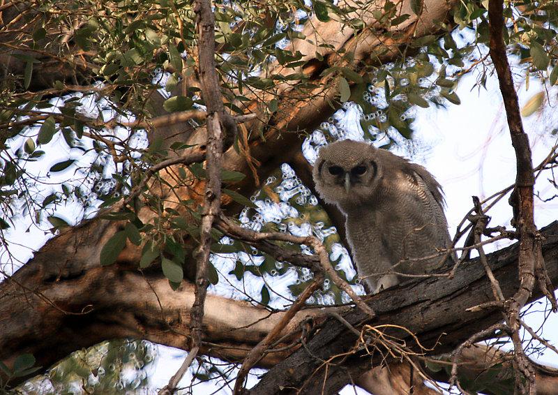 Giant eagle owl_29.jpg