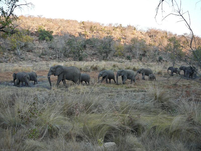 Elephant_558