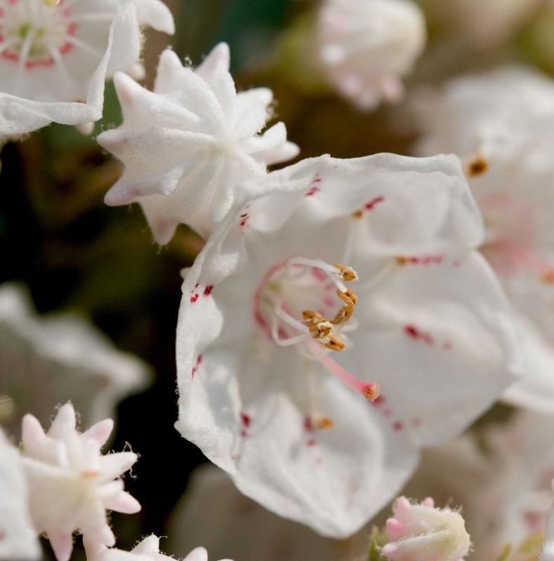 Laurel Blossom