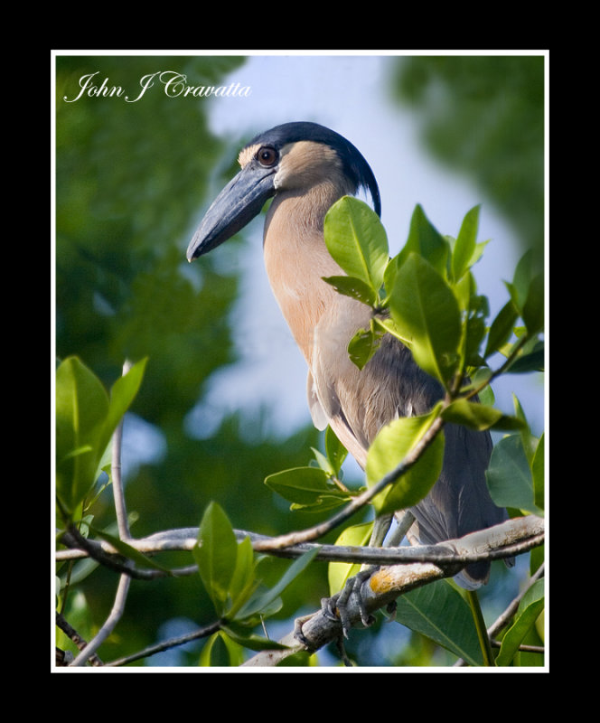 Boat billed  Heron .jpg