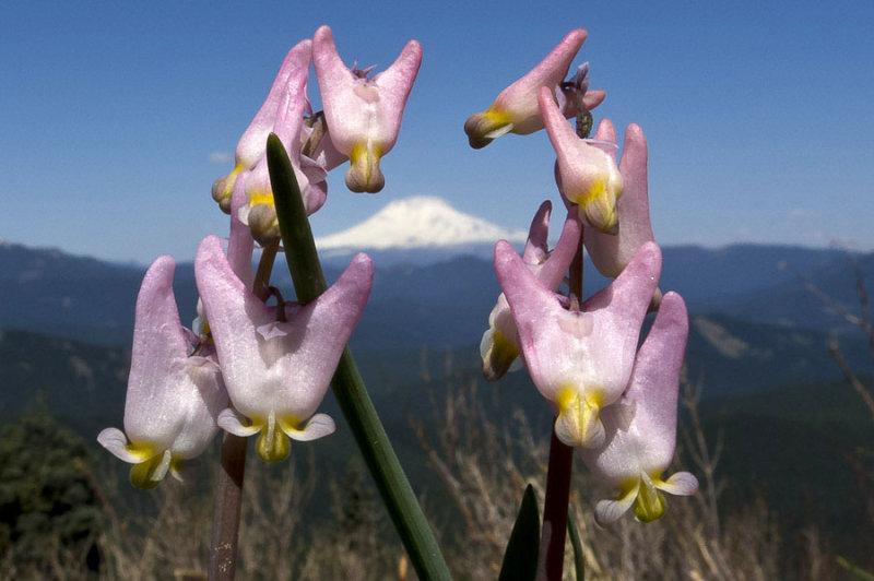 Mt. Adams framed by Dutchmans breeches
