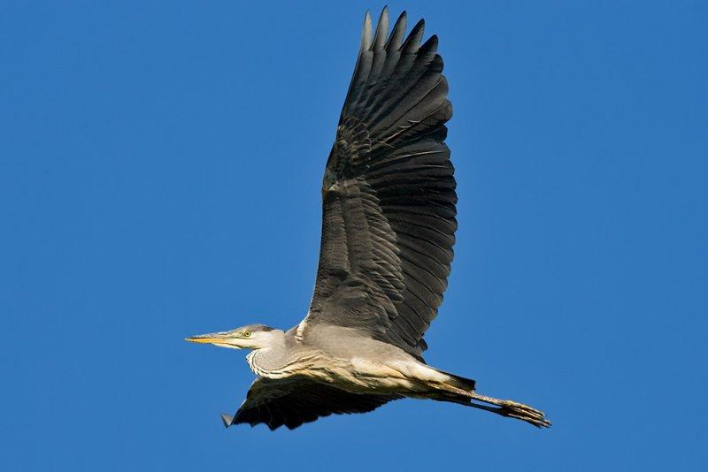 GråhägerArdea cinerea  Grey Heron