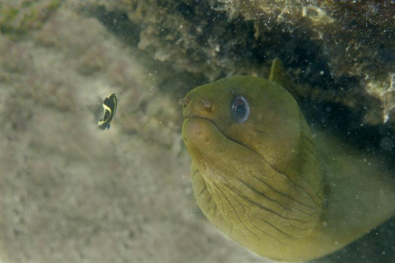 Baby Green Moray Eel