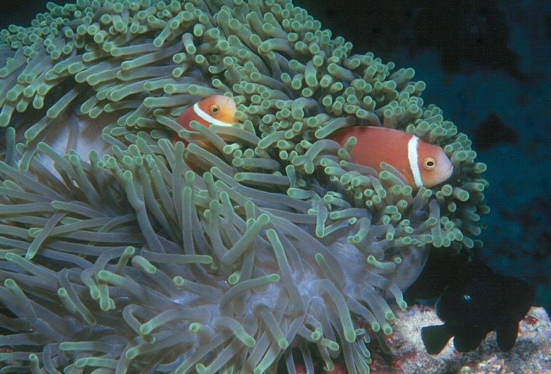 Sea Anemone with Clown Fish