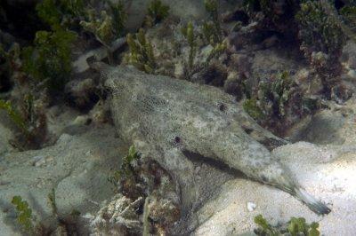Short Nose Batfish