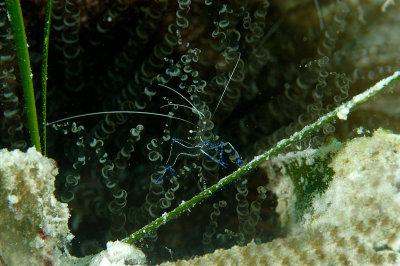 Peterson Cleaning Shrimp