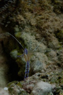 Pederson Cleaning Shrimp