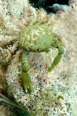 Green Clinging Crab