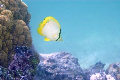 Spot Fin Butterflyfish