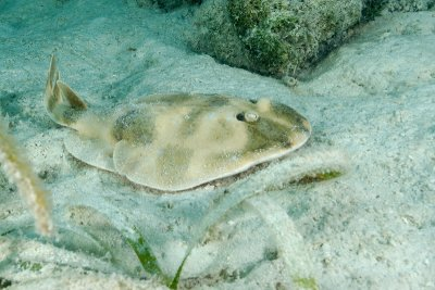 Lesser Electric Ray