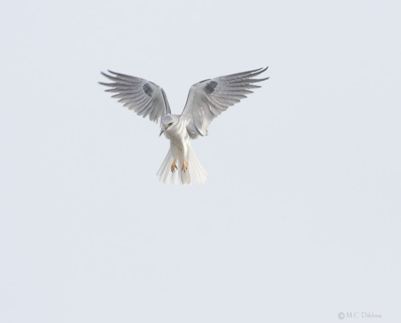 Hunting White Tail Kite