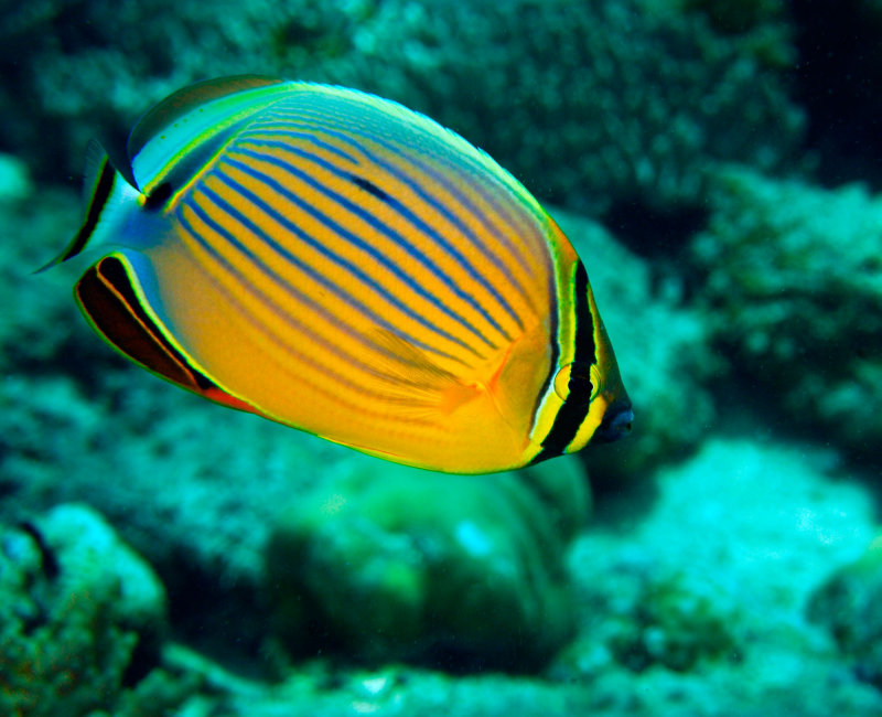 Butterflyfish 4.jpg