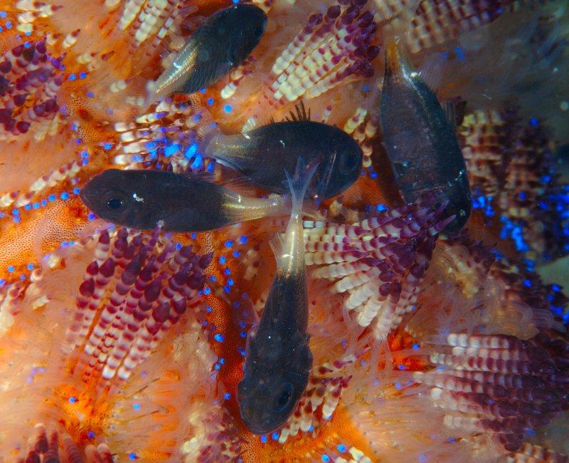 Cardinal  Fish.jpg