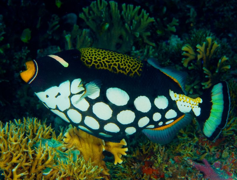 Clown Tiggerfish.jpg