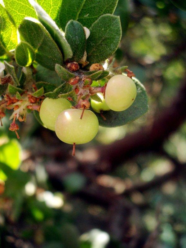 Manzanita, the Little Apple