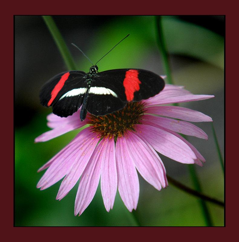 zoo butterfly blk red 06 web.jpg