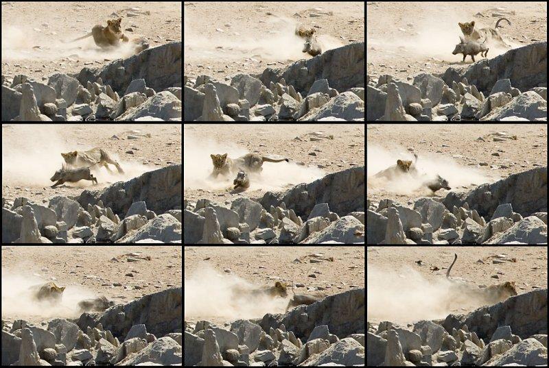 Lioness 1, Warthog 0