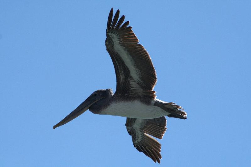 Pelicans of Humboldt Bay 3379.jpg