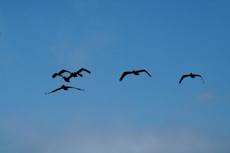 Pelicans of Humboldt Bay 3389.jpg
