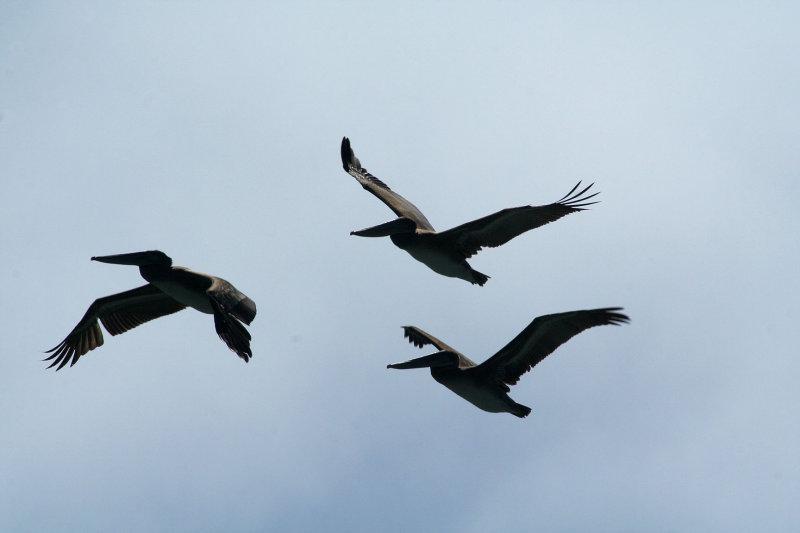 Pelicans of Humboldt Bay 3390.jpg
