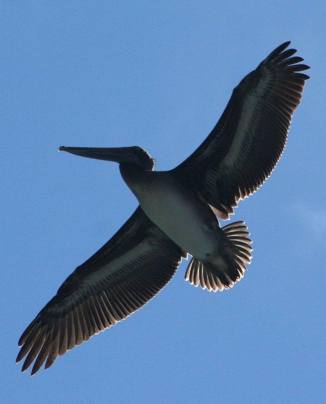 Pelicans of Humboldt Bay 3407.jpg