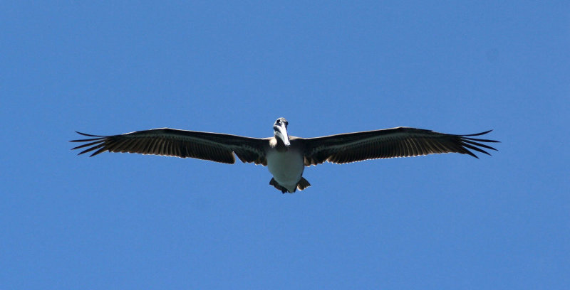 Pelicans of Humboldt Bay 3425.jpg