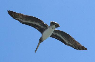 Pelicans of Humboldt Bay 3404.jpg