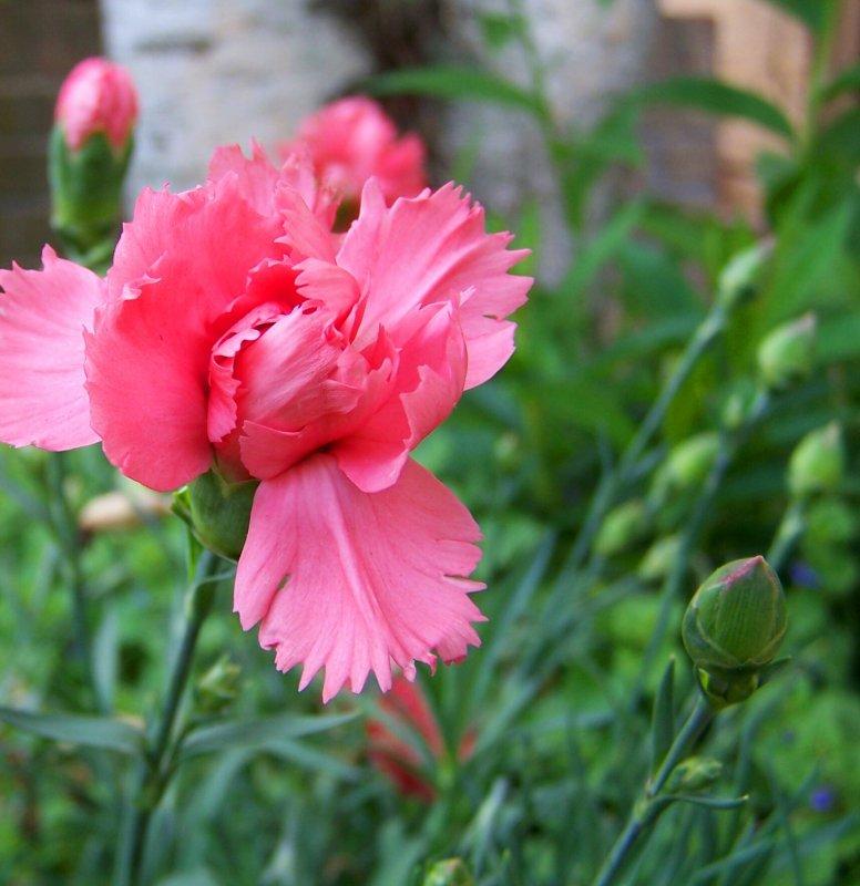 Pink inCarnations