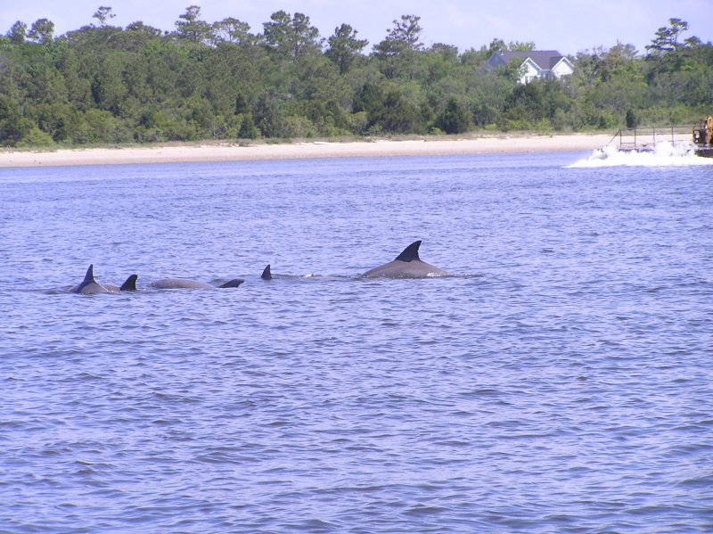 Intracoastal Waterway Dolphins