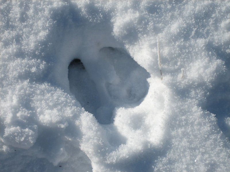 moose track