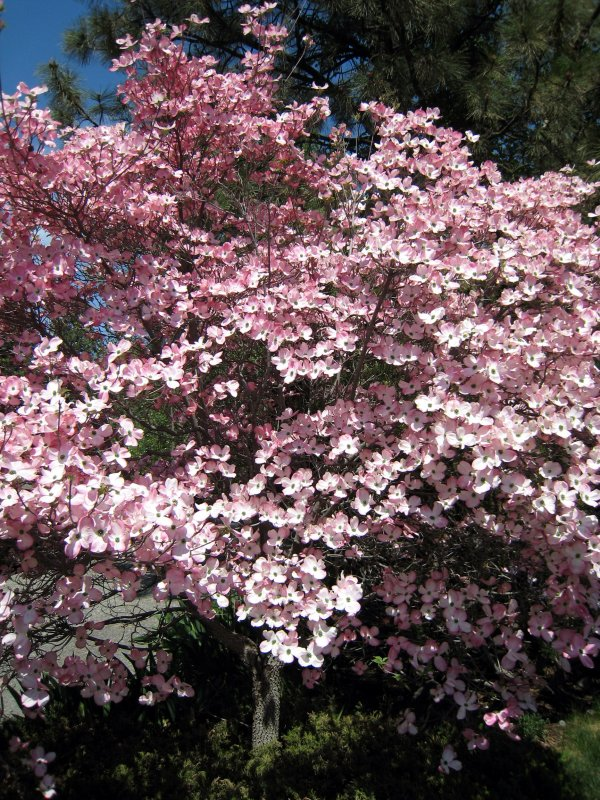 My favorite tree always blooms for Mothers Day.  Makes me think of my beautiful mom!