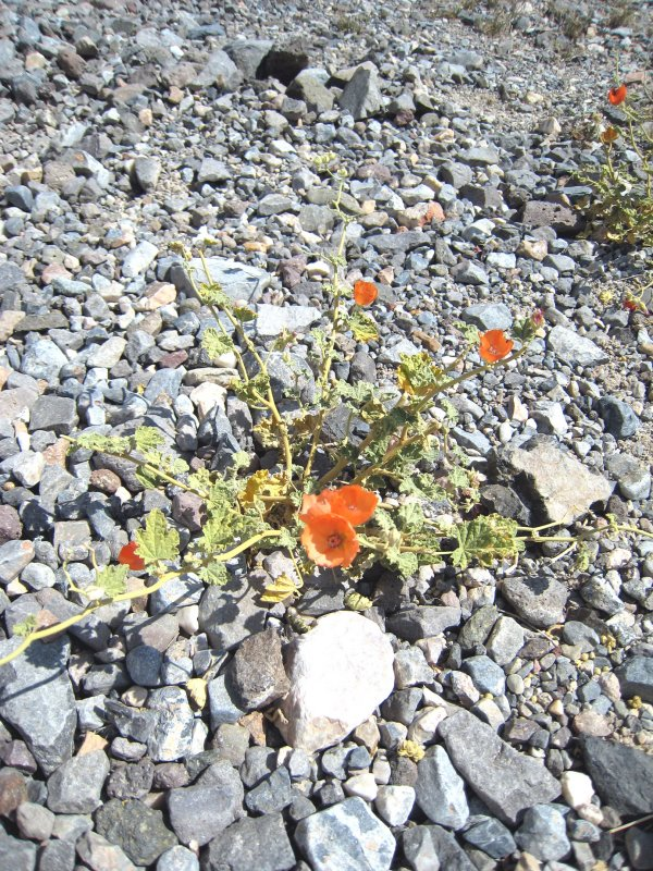 desert flowers by Helen