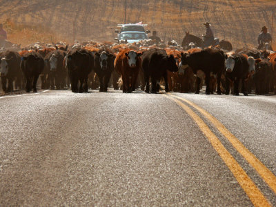 Cattle-drive, Henry, Idaho, 2006