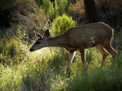 Mule deer, Grand Canyon National Park, Arizona, 2007
