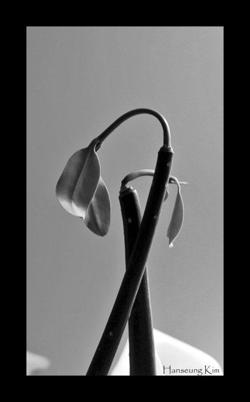 11/1/2006 Mangrove (Rhizophora mangle)