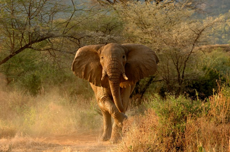 Elephant at Dawn