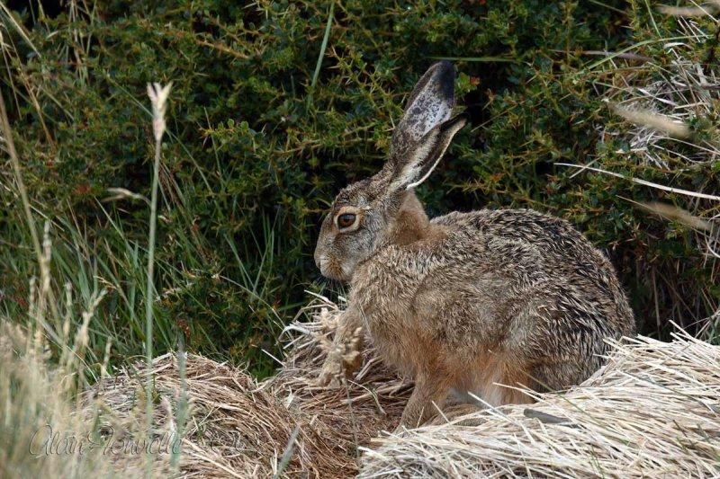 The hare makes its toilet / la toilette du lièvre