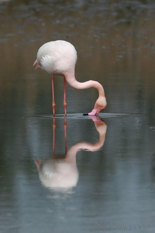 Flamingos kiss