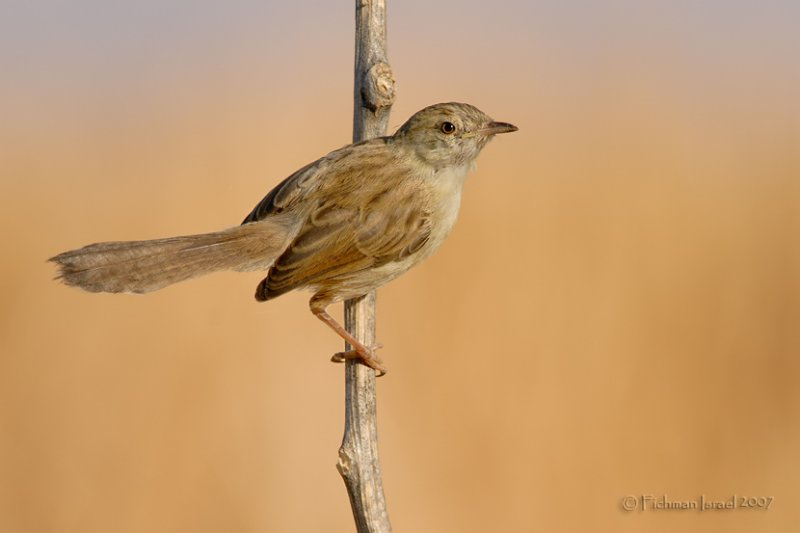 Graceful Prinia.