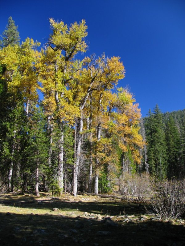Cottonwoods in Shackleford Canyon