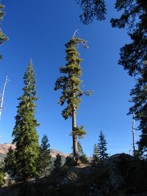 Western White Pine on Cliff Lake trail