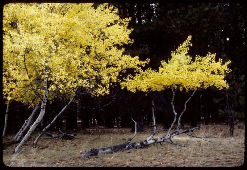 Tennant Aspens in the fall