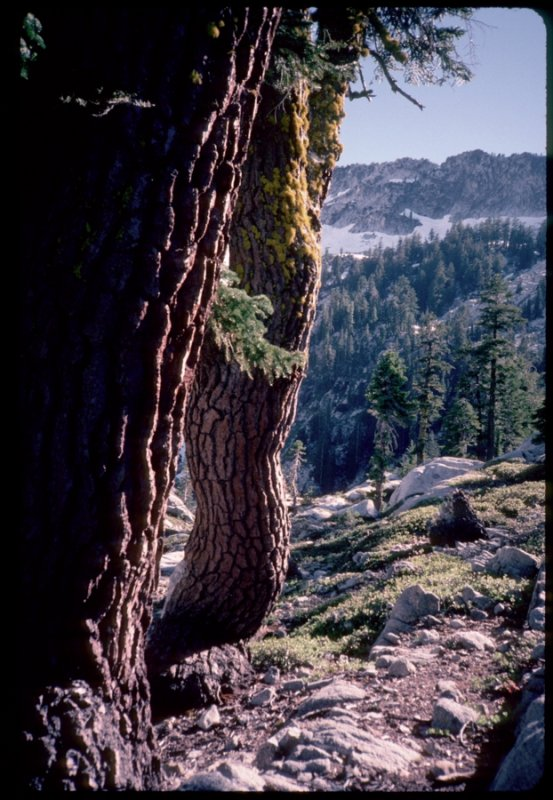 Old growth Red firs near Grizzly Lake