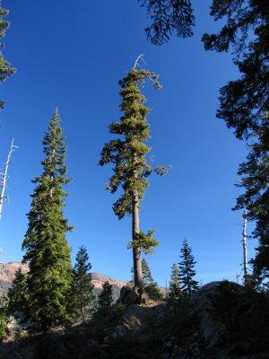 Western White Pine on Cliff Lake trail