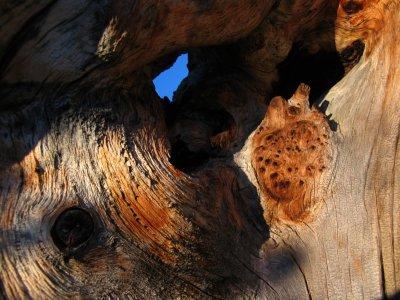 Weathered hemlock stump wood grain