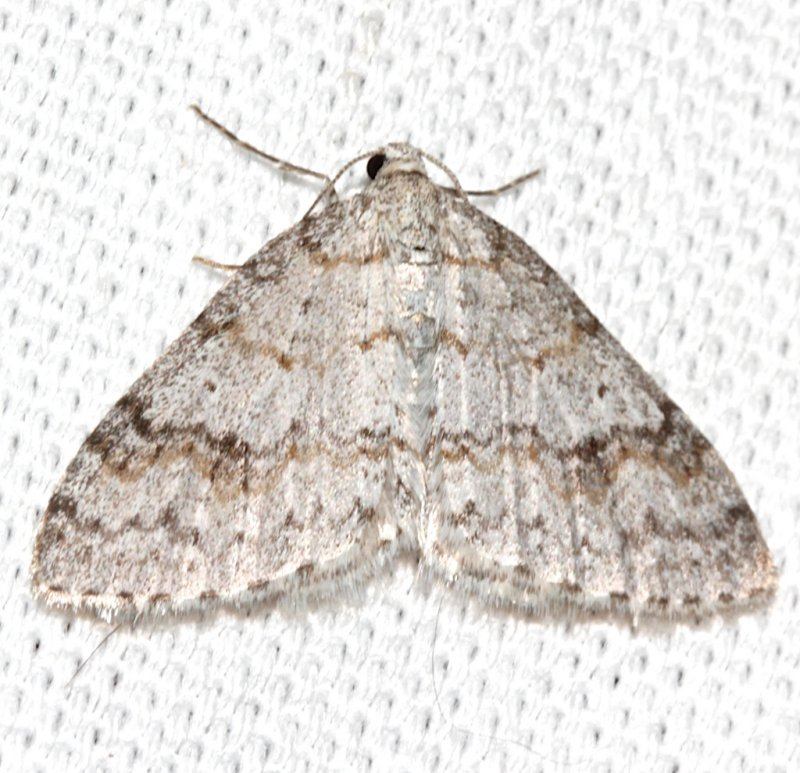 7428 ,Venusta comptaria, Brown-shaded Carpet