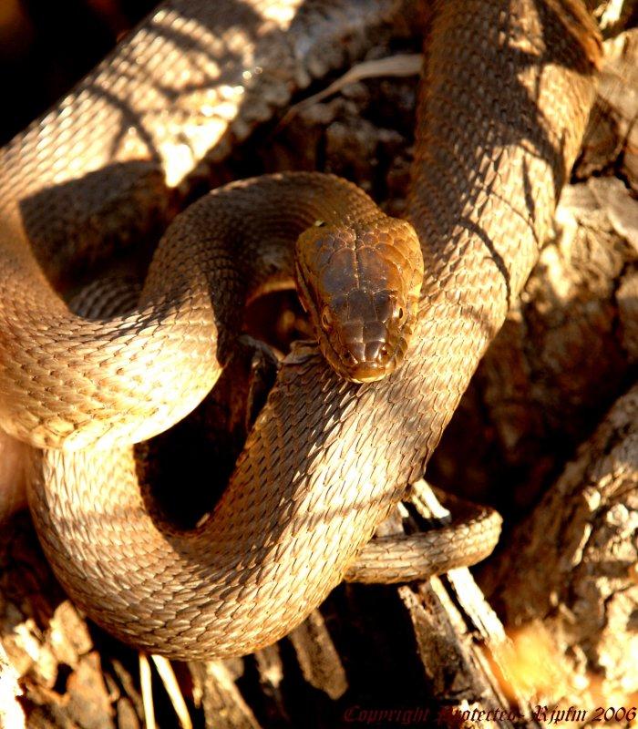 Water Snake Huntley Meadows Park, Va