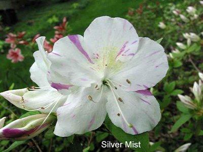Silver Mist