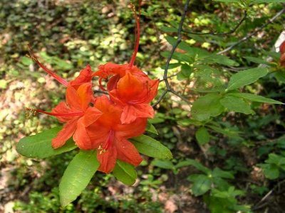 <i>cumberlandense</i> x <i>prunifolium</i>