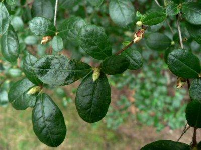 <i>viscosum</i> var. <i>serrulatum</i>